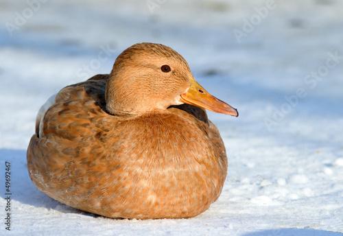 Photo  Mallard in the snow