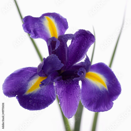Foto op Plexiglas Iris Iris isolated on white background