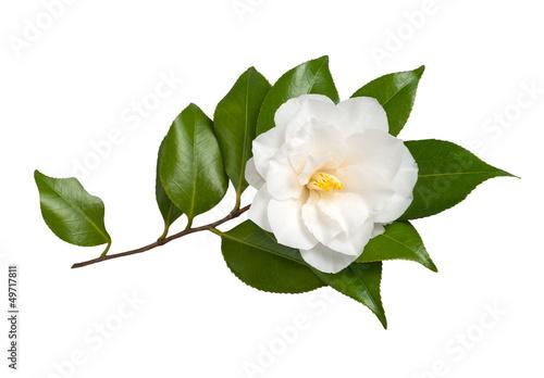 Stampa su Tela Camellia