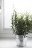 Rosemary in Metal Pot