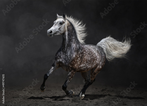 Fototapeta Gray arabian horse gallops on dark background obraz