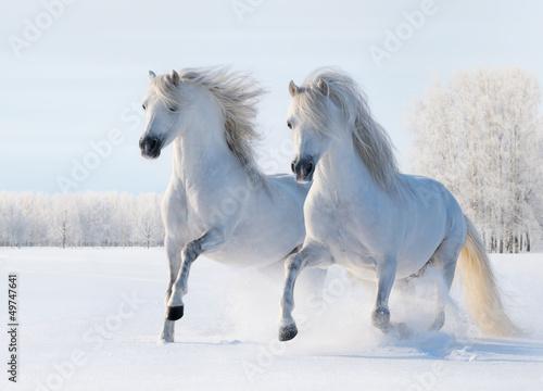 Dwa białego konia galopują na śnieżnym polu