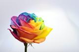 Fototapeta Tęcza - Close up of rainbow rose flower