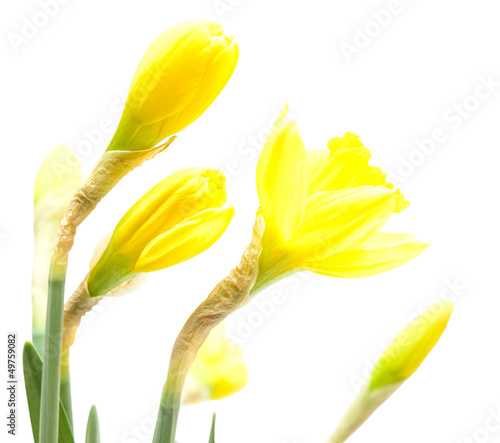 Garden Poster Narcissus Daffodil flower isolated on white background