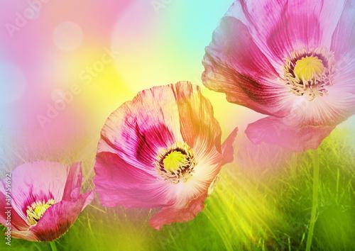 Fototapety, obrazy: poppies on a meadow
