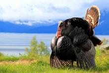 Eastern Turkey In Full Strut N...