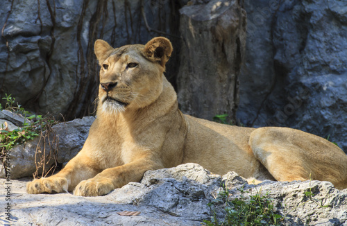 Cadres-photo bureau Puma Portrait of a Lion