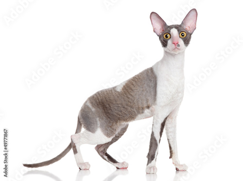 Photo  Cornish Rex
