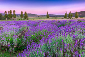 Panel Szklany Lawenda Sunset over a summer lavender field in Tihany, Hungary