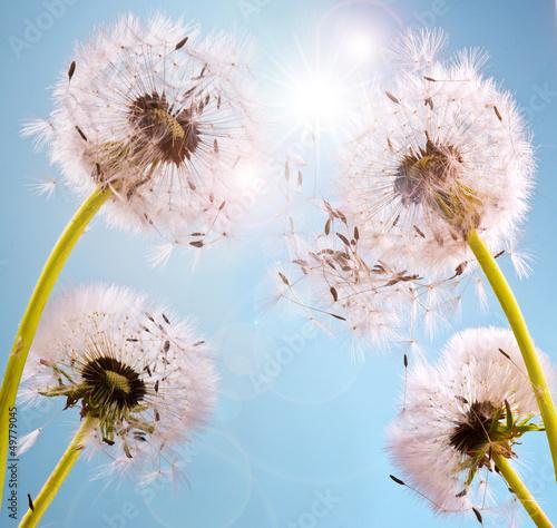 Wünsche erfüllen: Pusteblumen im Sonnenlicht