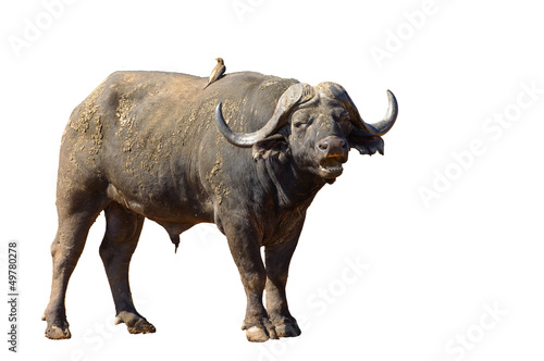 Keuken foto achterwand Buffel Bufflr, Afrique du Sud - Parc national Kruger