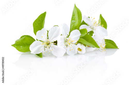 Spring Blossoms of fruit trees Isolated on white background