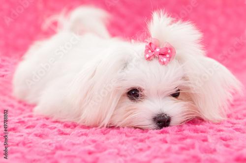 Photo  pedigree maltese dog