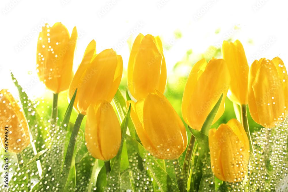 Fototapety, obrazy: Yellow tulips