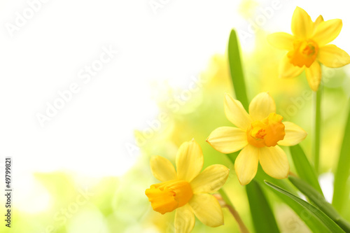 Photo Daffodil flowers