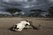 Drought With Skull
