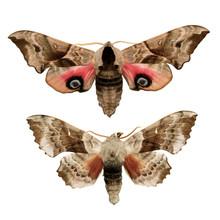 Two Hawk Moths