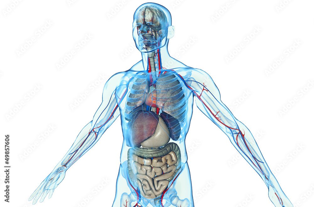 3d Human Body With Internal Organs Foto Poster Wandbilder Bei