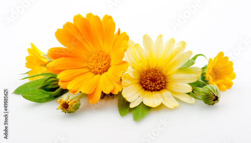 Cuadros en Lienzo  Calendula. flowers with leaves isolated on white
