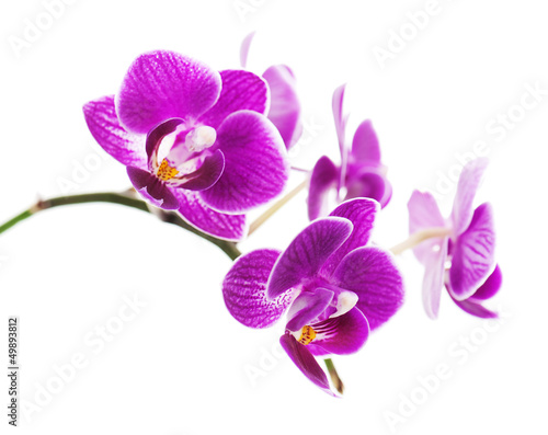 Fotografie, Obraz Rare purple orchid isolated on white background.