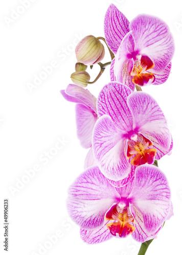 storczyk-liliowy