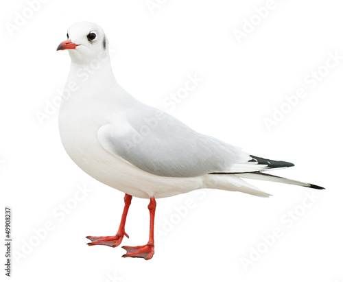white bird seagull isolated Wall mural
