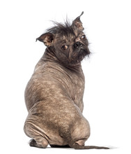 Rear View Of A Hairless Mixed-breed Dog, Sitting
