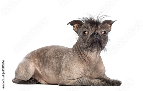 Poster Bouledogue français Hairless Mixed-breed dog, mix of a French bulldog
