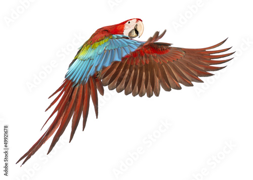 Photo Green-winged Macaw, Ara chloropterus, 1 year old, flying