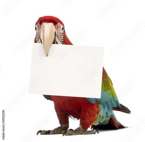 Fond de hotte en verre imprimé Perroquets Green-winged Macaw, Ara chloropterus, 1 year old