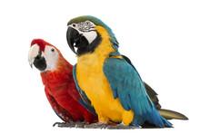 Blue-and-yellow Macaw, Ara Ara...