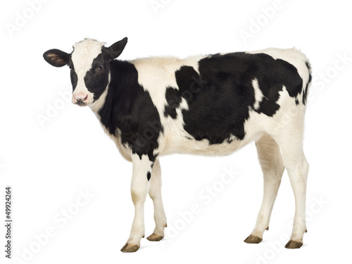 Foto Calf, 8 months old, in front of white background