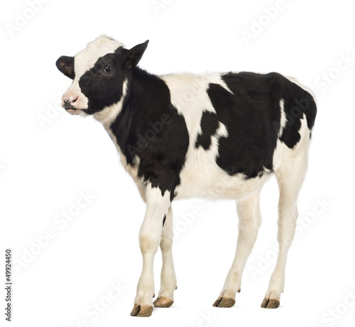 Photographie Calf, 8 months old, in front of white background