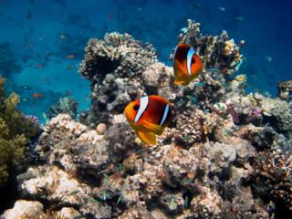 Fototapeta na wymiar zwei rotmeer anemonenfische