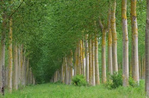 Obraz na płótnie Pappelwald - leśnych ludzi 10