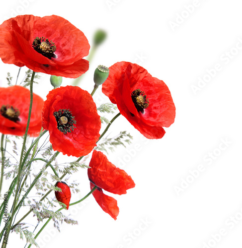 Foto op Canvas Klaprozen Poppy flowers isolated on a white background