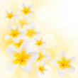 Leinwandbild Motiv Fleurs de frangipanier, fond blanc carré