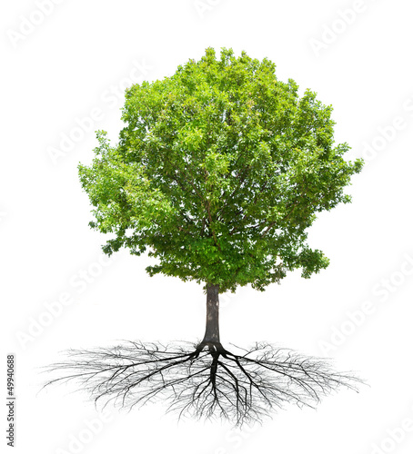 isolated green oak with root