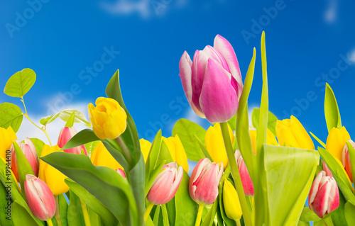 tulipan-i-blekitne-niebo