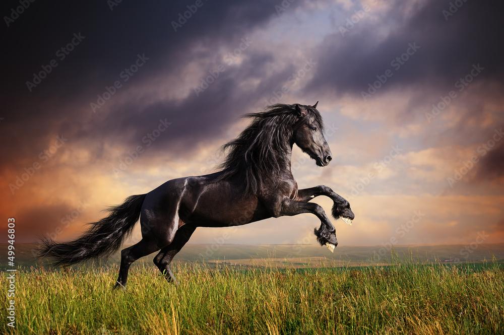 Fototapety, obrazy: Black Friesian horse gallop
