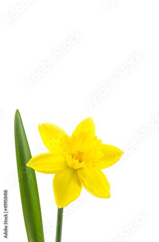 Papiers peints Narcisse Osterglocke perfekt freigestellt auf weißem Hintergrund