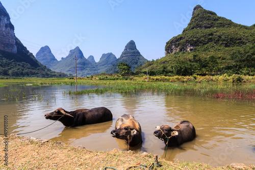 Foto op Aluminium Guilin Cows cooling down in water in Asia