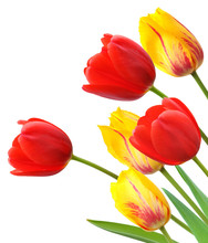 Red And Yellow Tulips Isolated...