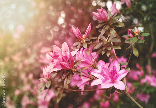 Foto op Canvas Azalea Spring Azaleas in Soft Sunlight