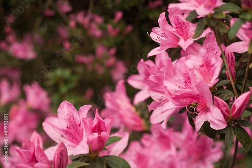 Tuinposter Azalea Pink Azalea Clusters on Soft-Focus Background