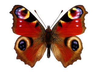 Fototapeta European Peacock butterfly (Inachis io)