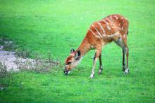 African Animal Sitatunga Trage...