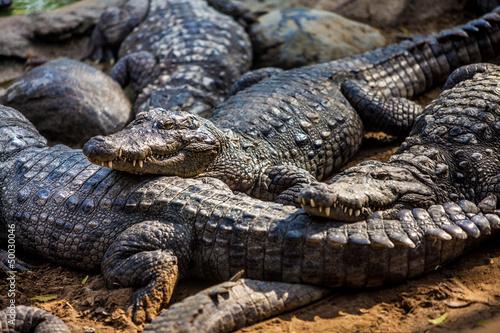 Foto op Plexiglas Krokodil crocodile alligator