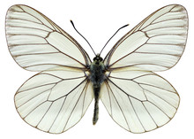 Isolated Black-veined White Butterfly