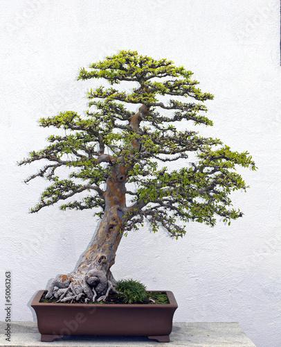 Foto op Aluminium Bonsai bonsai tree